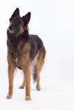 比利时牧羊人特尔菲伦母狗身分,被隔绝 库存照片
