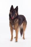 比利时牧羊人特尔菲伦母狗身分 图库摄影