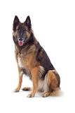 比利时牧羊人特尔菲伦母狗 库存照片