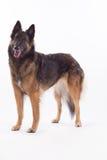 比利时牧羊人特尔菲伦母狗 库存图片