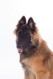 比利时牧羊人特尔菲伦狗小狗,六个月,特写 免版税库存照片