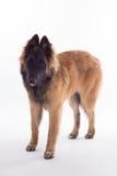 比利时牧羊人特尔菲伦狗小狗,六个月,白色studi 免版税库存图片