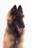比利时牧羊人特尔菲伦狗小狗,特写 免版税库存照片