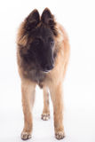 比利时牧羊人特尔菲伦狗小狗,站立 免版税库存照片