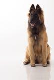 比利时牧羊人特尔菲伦狗小狗 库存照片