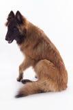 比利时牧羊人特尔菲伦狗小狗 库存图片
