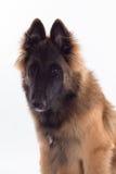 比利时牧羊人特尔菲伦狗小狗 免版税库存图片