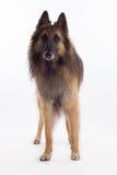 比利时牧羊人特尔菲伦狗身分,白色演播室背景 免版税库存图片