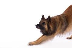 比利时牧羊人特尔菲伦狗,白色演播室背景 免版税库存照片