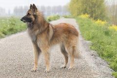 比利时牧羊人特尔菲伦狗,站立 库存照片