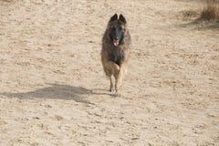比利时牧羊人特尔菲伦狗,跑在沙子 免版税库存图片
