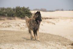 比利时牧羊人特尔菲伦狗,跑 免版税库存照片