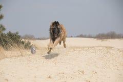 比利时牧羊人特尔菲伦狗,跳跃 免版税库存图片