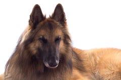 比利时牧羊人特尔菲伦,狗,放下 库存图片