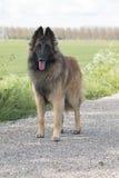 比利时牧羊人特尔菲伦,狗,站立 免版税图库摄影