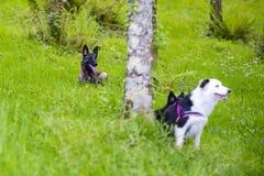 比利时牧羊人Malinois使用9只月和的博德牧羊犬  免版税库存图片