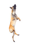比利时狗牧羊人 免版税库存照片