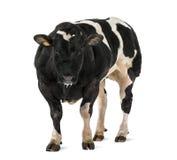比利时蓝牛羚(16个月), 免版税库存照片