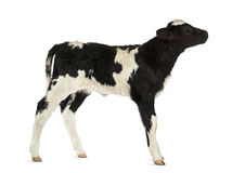 比利时蓝色小牛 库存照片