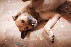 比利时边界品种大牧羊犬狗混杂的牧羊人 免版税库存照片