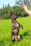 比利时边界品种大牧羊犬狗混杂的牧羊人 免版税库存图片