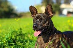 比利时边界品种大牧羊犬狗混杂的牧羊人 免版税图库摄影