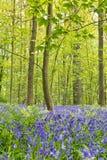 比利时, Vlaanderen富兰德,哈雷 会开蓝色钟形花的草开花Hyacint 免版税库存图片