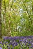 比利时, Vlaanderen富兰德,哈雷 会开蓝色钟形花的草开花Hyacint 免版税图库摄影