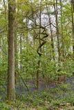 比利时, Vlaanderen富兰德,哈雷 会开蓝色钟形花的草开花Hyacint 免版税库存照片