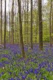 比利时, Vlaanderen富兰德,哈雷 会开蓝色钟形花的草开花Hyacint 库存照片