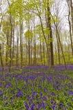 比利时, Vlaanderen富兰德,哈雷 会开蓝色钟形花的草开花Hyacint 库存图片