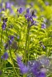 比利时, Vlaanderen富兰德,哈雷 会开蓝色钟形花的草f宏观照片  库存照片