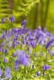 比利时, Vlaanderen富兰德,哈雷 会开蓝色钟形花的草f宏观照片  图库摄影