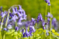 比利时, Vlaanderen富兰德,哈雷 会开蓝色钟形花的草f宏观照片  免版税库存图片