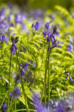 比利时, Vlaanderen富兰德,哈雷 会开蓝色钟形花的草f宏观照片  免版税库存照片