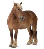 比利时brabancon大量马 免版税库存图片