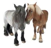 比利时brabancon大量马 免版税库存照片