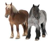 比利时brabancon大量马 免版税图库摄影