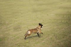 比利时Malinu狗 免版税库存照片
