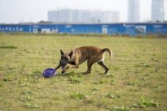 比利时Malinu狗 免版税库存图片