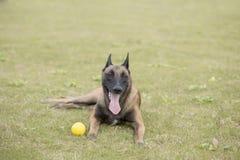 比利时Malinu狗 免版税图库摄影