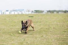 比利时Malinu狗 库存图片
