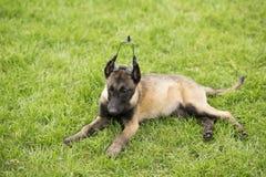 比利时Malinu狗 库存照片