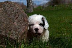 比利牛斯山脉的大型猛犬小狗5个星期 库存照片