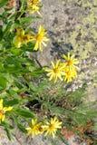 比利牛斯山脉的groundsel花 免版税图库摄影