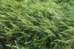 比拉罗斯日域绿色美味的夏天麦子 免版税库存图片