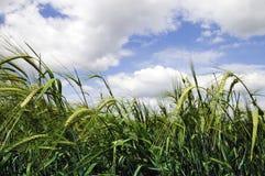 比拉罗斯蓝色域绿色天空麦子 免版税库存照片