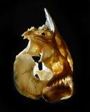 比拉鱼的头骨 免版税图库摄影