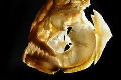 比拉鱼的头骨 图库摄影