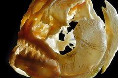 比拉鱼的头骨 免版税库存图片